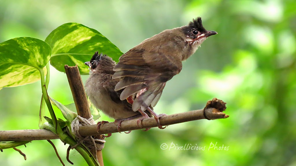 Bulbul Chicks Out of the Nest