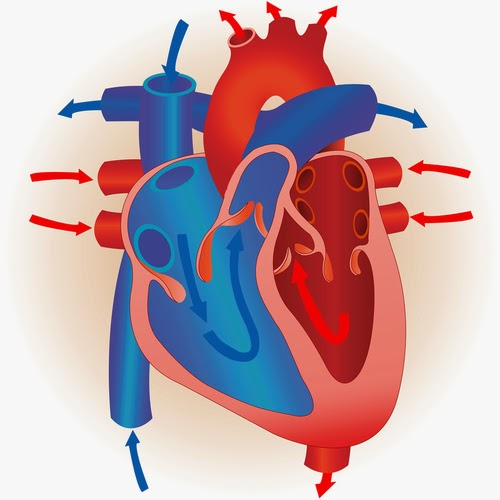 46 the heart biology notes for a level the mammalian heart is a double pump ccuart Images