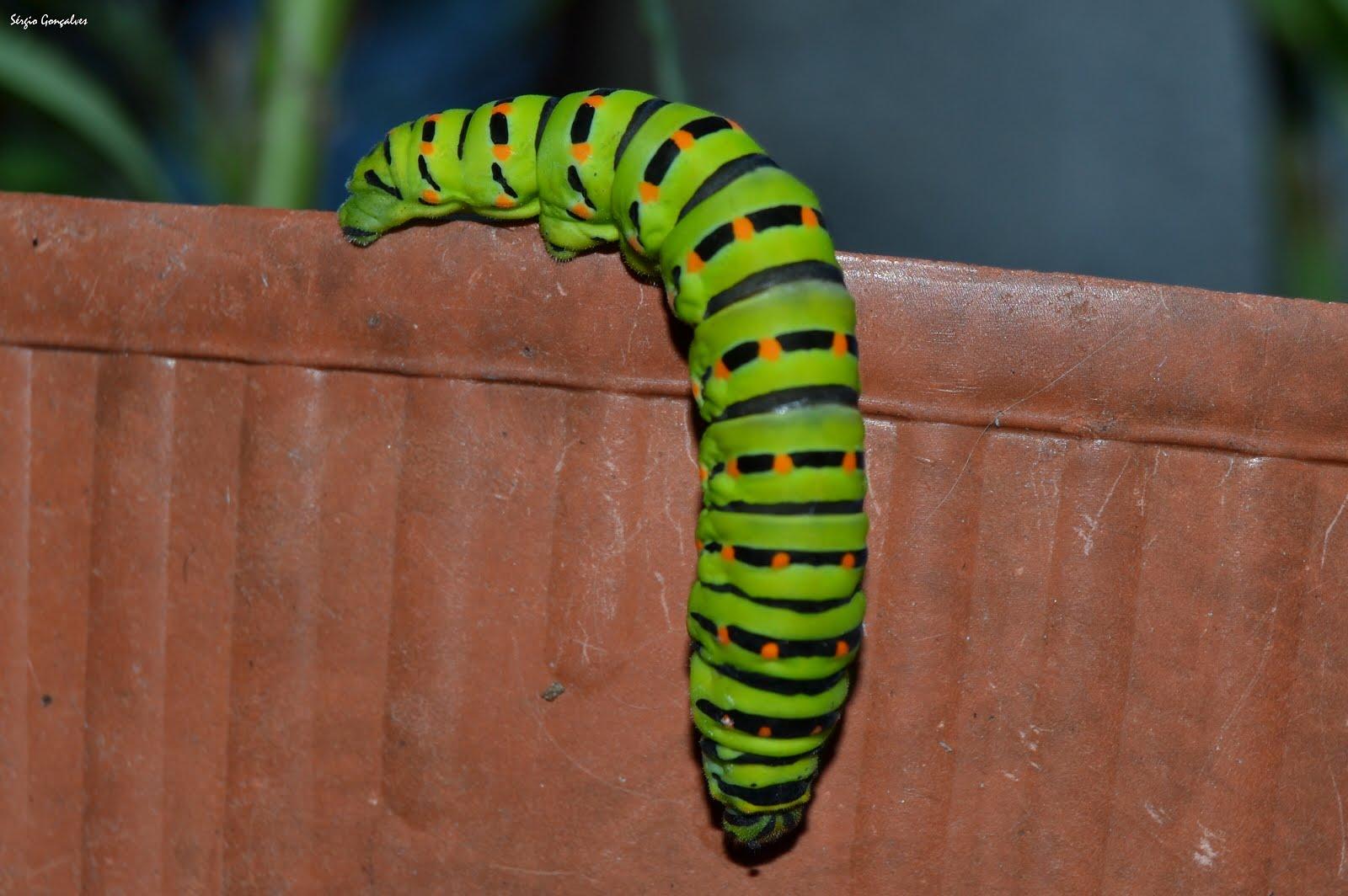 Lagarta verde - Papilio machaon