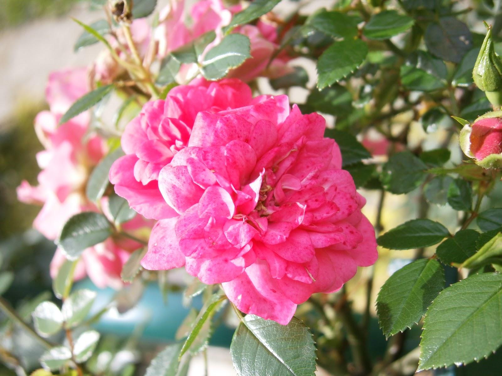 Plantes et fleurs de mon jardin photo de roses roses dans for Plantes et arbustes de jardin