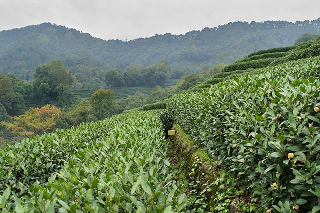 Plantations de thé et paysages à Long Jing
