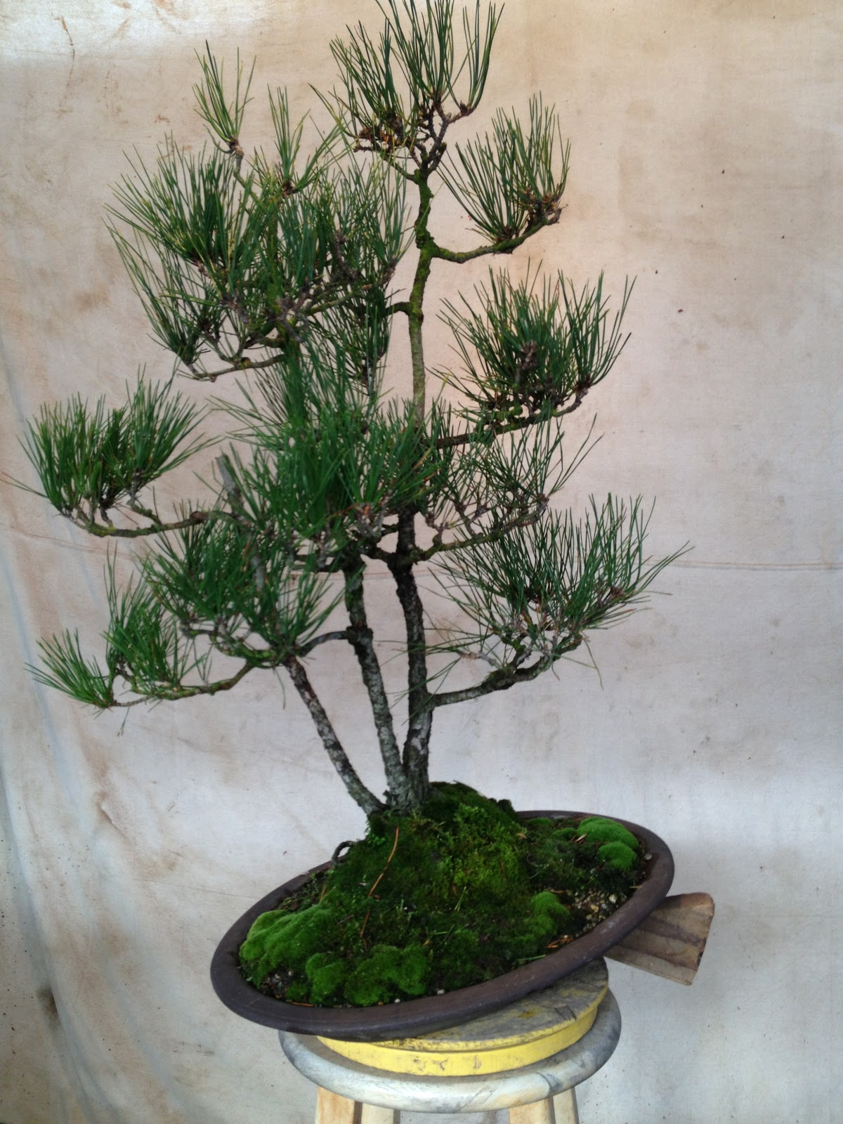 Bonsaibp39s Bonsai Blog Triple Trunk Pine