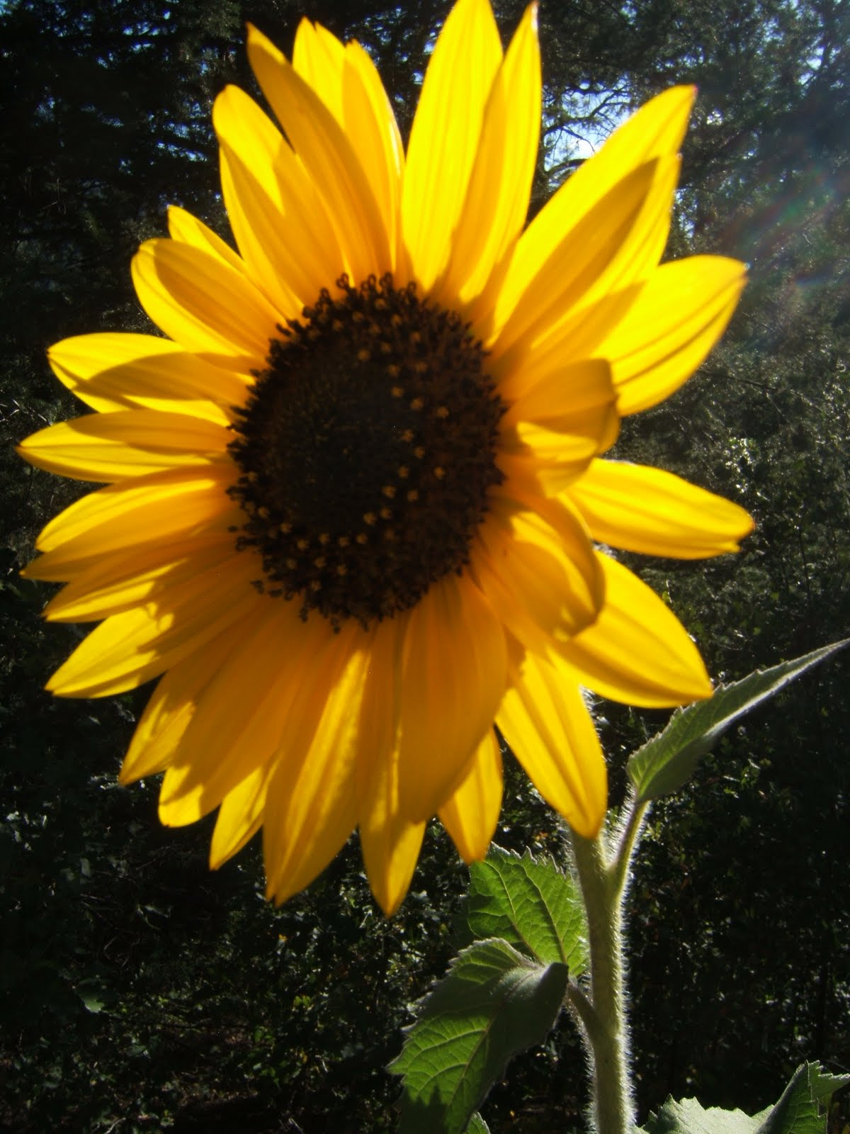 Sunflower, late bloomer.