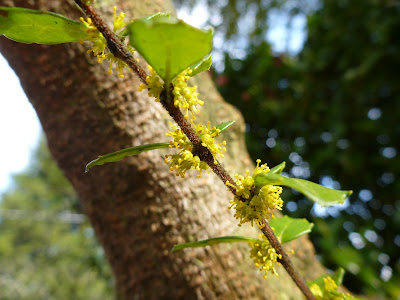 Azara microphylla - Branch and Flowers