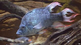 Ikan Mangarahara cichild