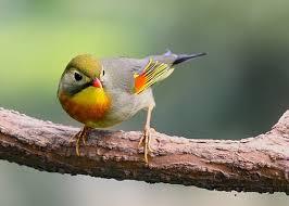 Tips Perawatan Burung Robin Agar Cepat Gacor Dan Rawatan Sederhananya-  Burung Robin adalah burung yang sangat bagus untuk memberikan masukan suara ke burung lain, seperti kacer, murai batu dan lain-lain,    Tips Sederhana Merawat Burung Robin Peliharalah burung dengan sangkar yang cukup luas Peliharalah dengan betinanya agar bisa saut-sautan saat berkicau  Cara Merawat Burung Robin  Perawatan burung Robin pada dasarnya tidak berbeda jauh dengan burung pemakan buah lainnya dan juga seperti burung kecil lainnya seperti pleci. Namun sebagai selingan makanan tambahan (EF) burung Robin bisa juga diberi makan berbagai jkenis serangga seperti jangkrik kecil, ulat hongkong dan lain-lainnya dan bisa juga jika kita menghendaki pemberian makan voer, bisa kita proses sebagaimana kita memproses burung lain bagaimana cara agar burung bisa makan voer yang bisa juga dibaca disini. Sedangkan perawatan seperti memandikan, penjemuran dan lain-lain tidak berbeda dengan burung berukuran kecil lainnya.  Tiap hari mandikan burung dengan cara di semprot memakai spray, pagi dan sore hari, selebihnya biarkan dia mandi sendiri dalam cepuknya yang sudah anda persiapkan Jemur  1 jam kemudian angin-anginkan Usahakan mendekatkan burung robin dengan burung gacor lainnya, namun yang perlu diingat adalah jangan sampai burung robin dekat dengan burung bersuara lantang, karena bisa melemahkan mentlanya Berikan EF pagi jangkrik q ekor dan ulat Hongkong  ekor, kemudian sorenya Ulat Hongkong 5 ekor Berikan burung robin buah-buahan yang disukainya seperti pepaya atau pisang Dengan perawatan yang baik dan rutin maka burung robin akan bisa diandalkan untuk jadi pemasok amunisi bagi burung kicau anda lainnya, namun yang harus diingat adalah suara burung robin juga tidak kalah dengan burung lain
