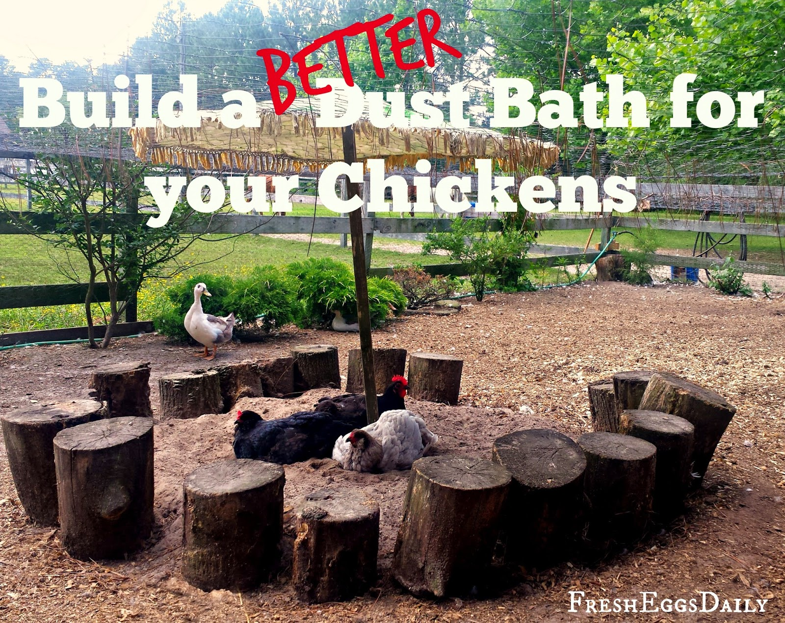 build a better dust bath for your chickens fresh eggs daily