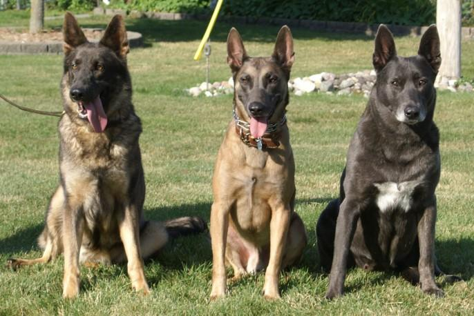 German Shepherd Dutch Shepherd Mix | Dog German Shepherds