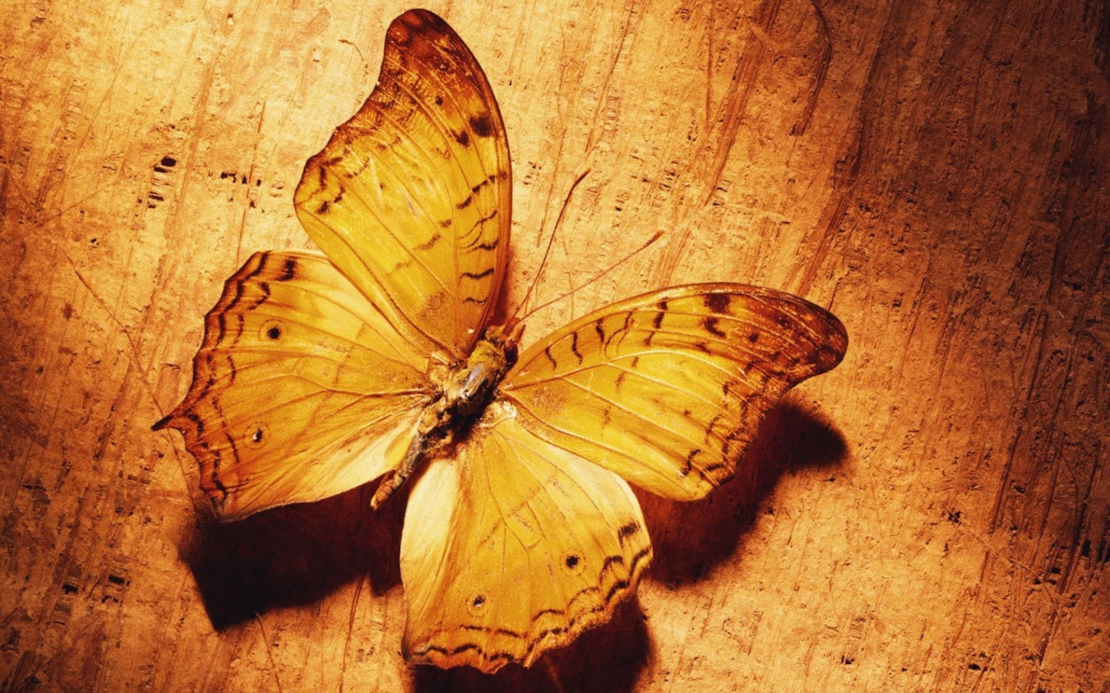 hd wallpapers: butterfly hd wallpaper latest