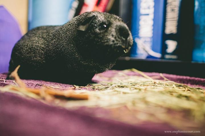 """guinea pig eating hay"""
