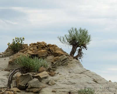 Rabbitbrush rising from rock.  Photo © Shelley Banks