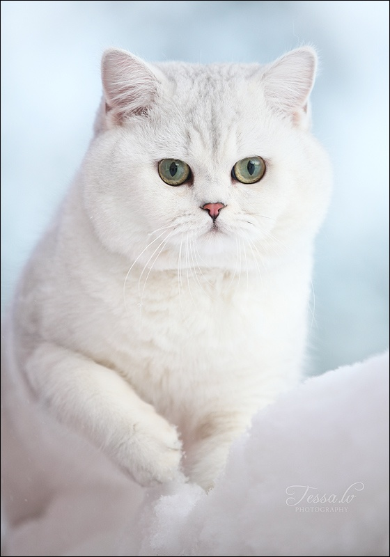 British Shorthair Cat History
