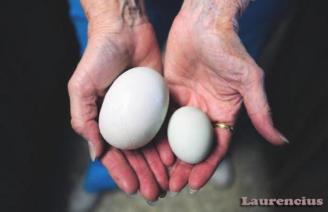 Super-Egg-Fenomena-Ada-Telur-Dalam-Telur_1