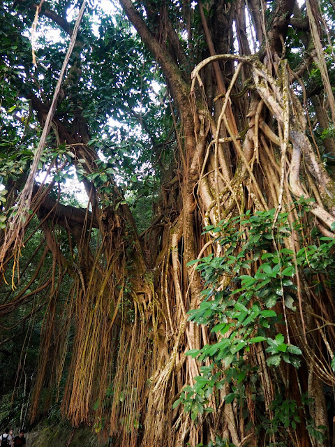 Trees with huge roots and hanging vines on the Peak Circle Walk | Hong Kong