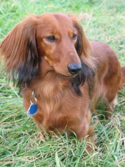 Dachshund Smooth Haired Dog Breed Pictures