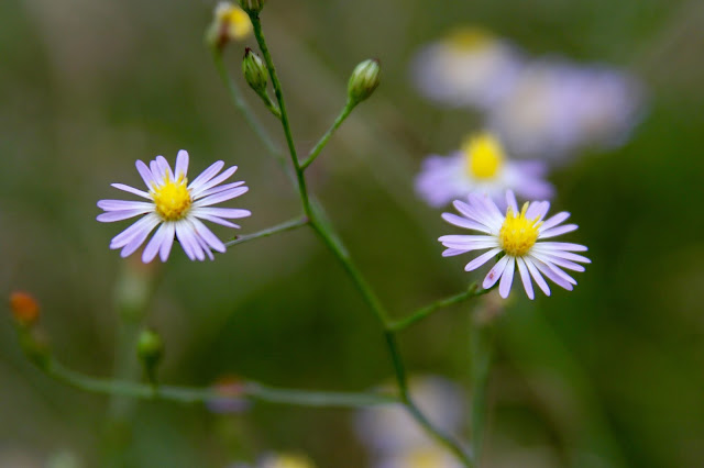 Aster-Brazos Bend State Park-Needville, Texas