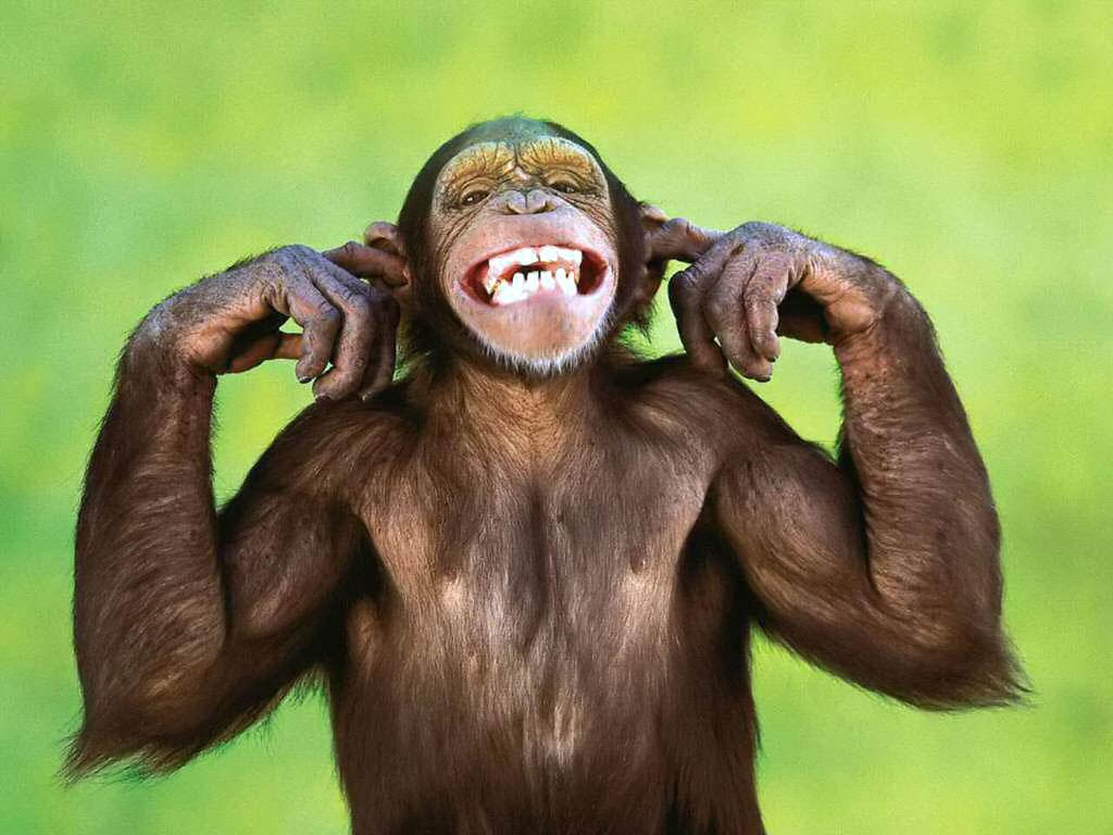 Hd Animals Funny Monkey Wallpaper