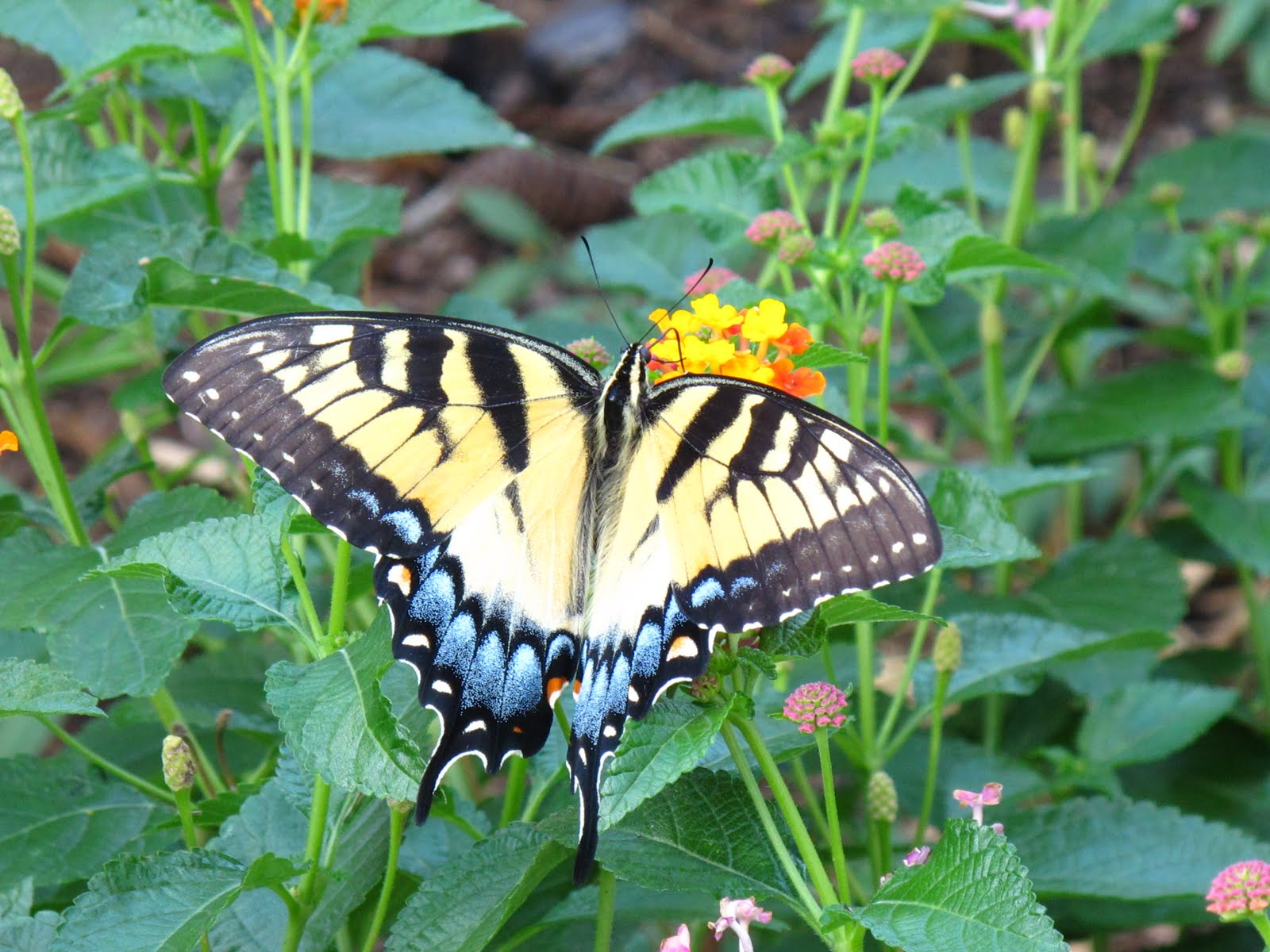 From My Corner of Katy: Swallowtail Suite