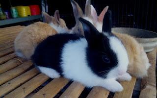 Panduan dasar ternak kelinci