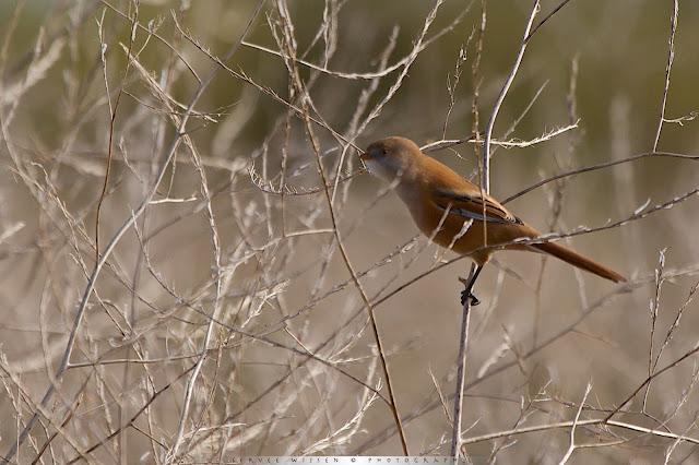 Baardmannetje - Bearded Reedling - Panurus biarmicus