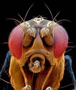 ciri-ciri lalat buah