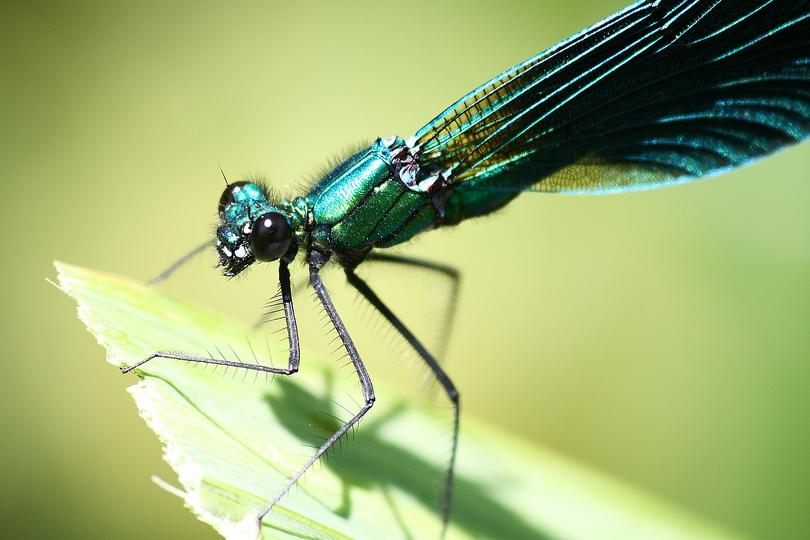 Caloptéryx vierges (Calopteryx virgo).