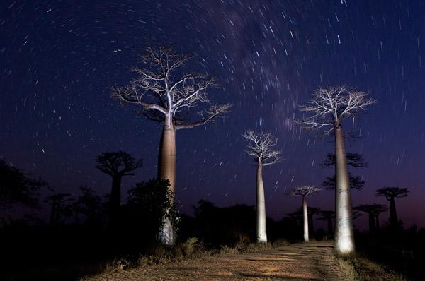 bomen uit madagascar