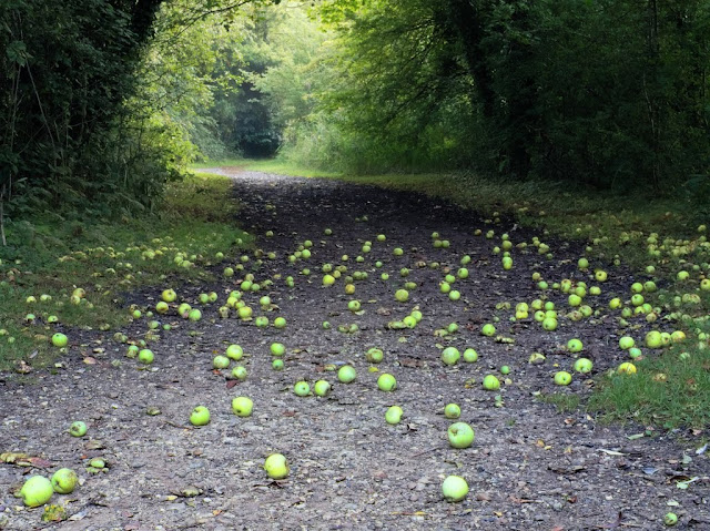 Green windfall apples litter the path