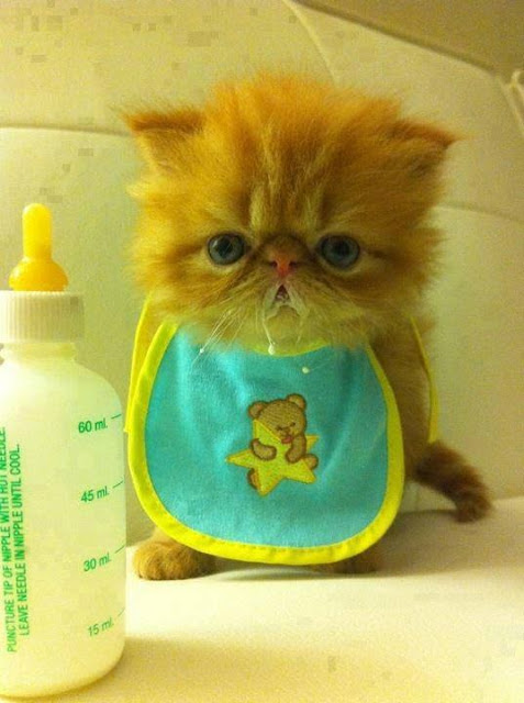 Gato bebé tomando leche de la mamadera