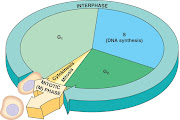 The 'science' I wish to in sue is the Cell Cycle due it its simple nature.
