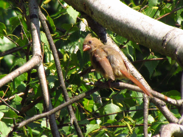 another young cardinal in tree