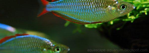 Aquarium freshwater tropical fish rainbowfishes for Freshwater schooling fish