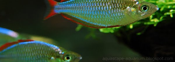 Freshwater Tropical Rainbowfishes Species