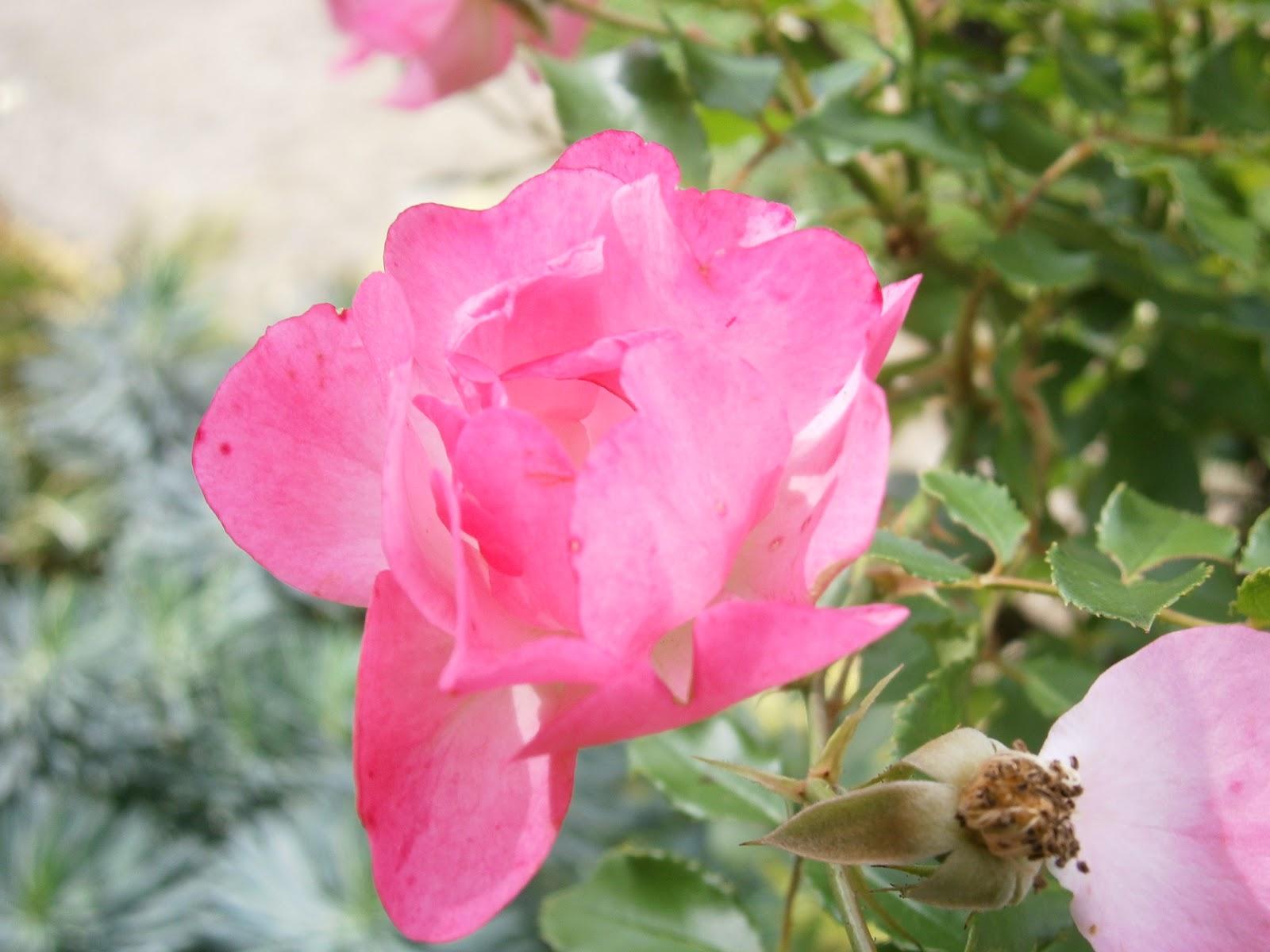 Plantes et fleurs de mon jardin photo d 39 une rose rose for Fleurs dans un jardin