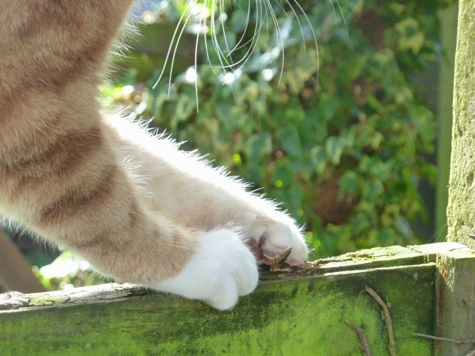 Ginger cat paws in the sunshine