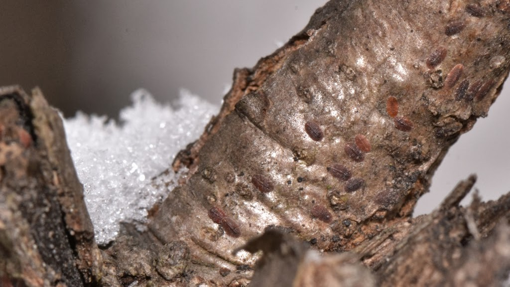Overwintering scale insects
