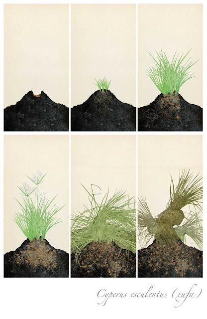 fases crecimiento de la chufa, museo, Almacera,  dibujo