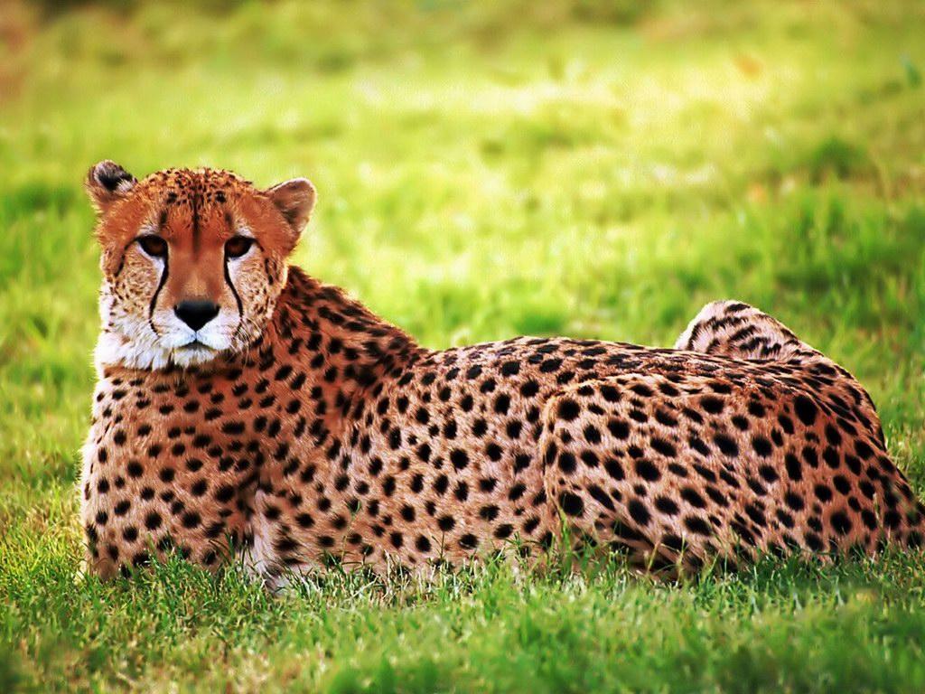 Cheetah | The Biggest Animals Kingdom