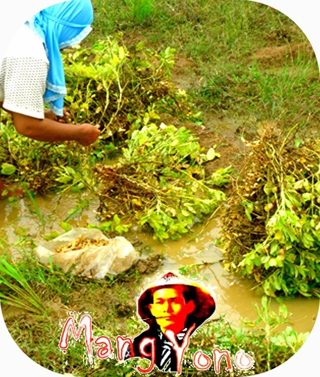 Mengambil kacang tanah