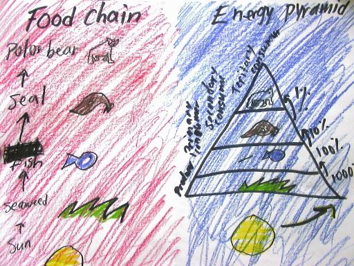 animal food chain pyramid. I drew my animals food chain