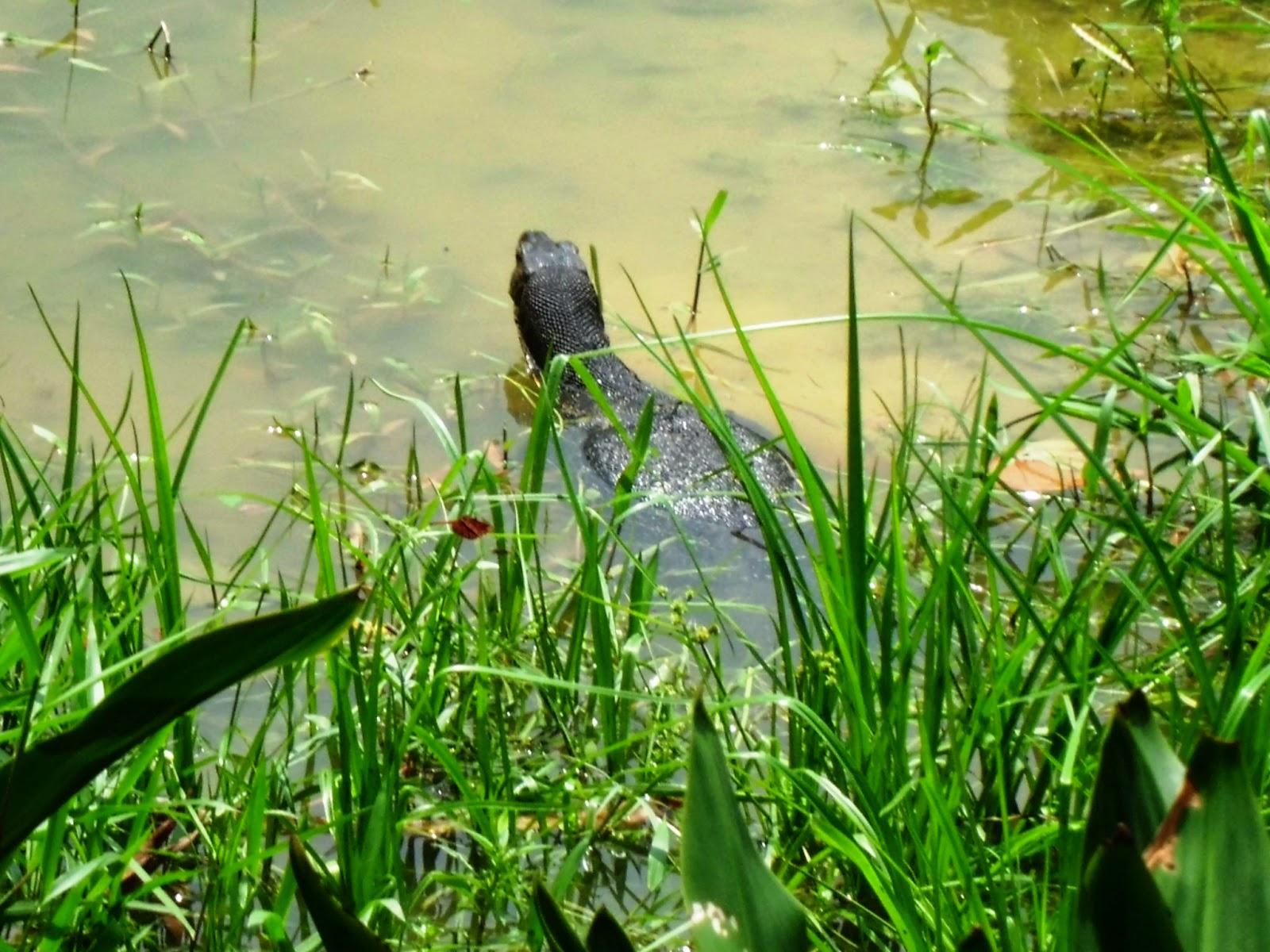 Singapore Botanic Gardens - clouded monitor lizard (Varanus bengalensis)