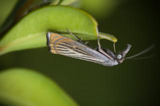 Para ampliar Chrysoteuchia culmella (Linnaeus, 1758) hacer clic