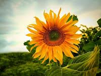 6 Manfaat Bunga Matahari Bagi Kesehatan Manusia