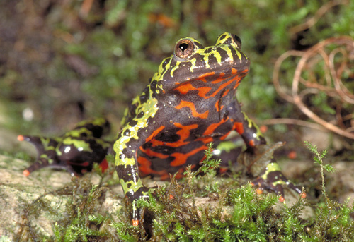 Fire bellied toad animal wildlife for Kumak s fish