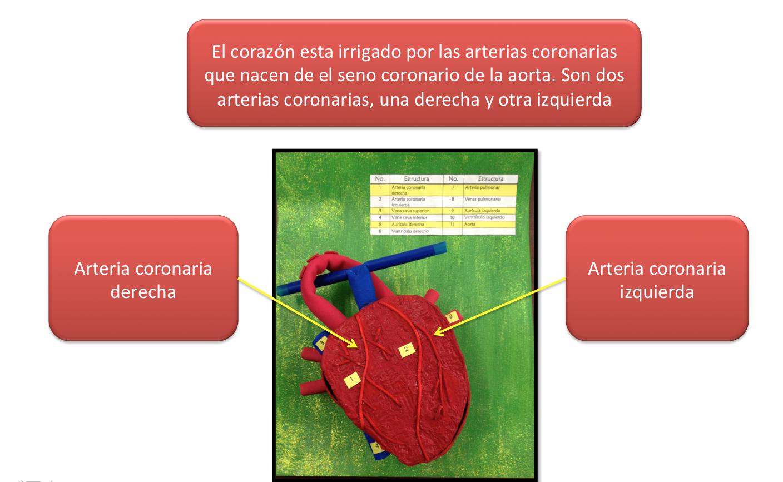 Dorable La Anatomía Del Seno Coronario Bosquejo - Anatomía de Las ...