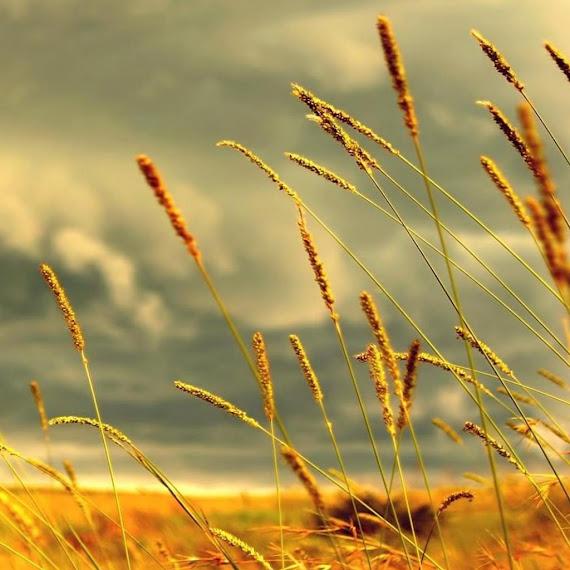 gandum eropa