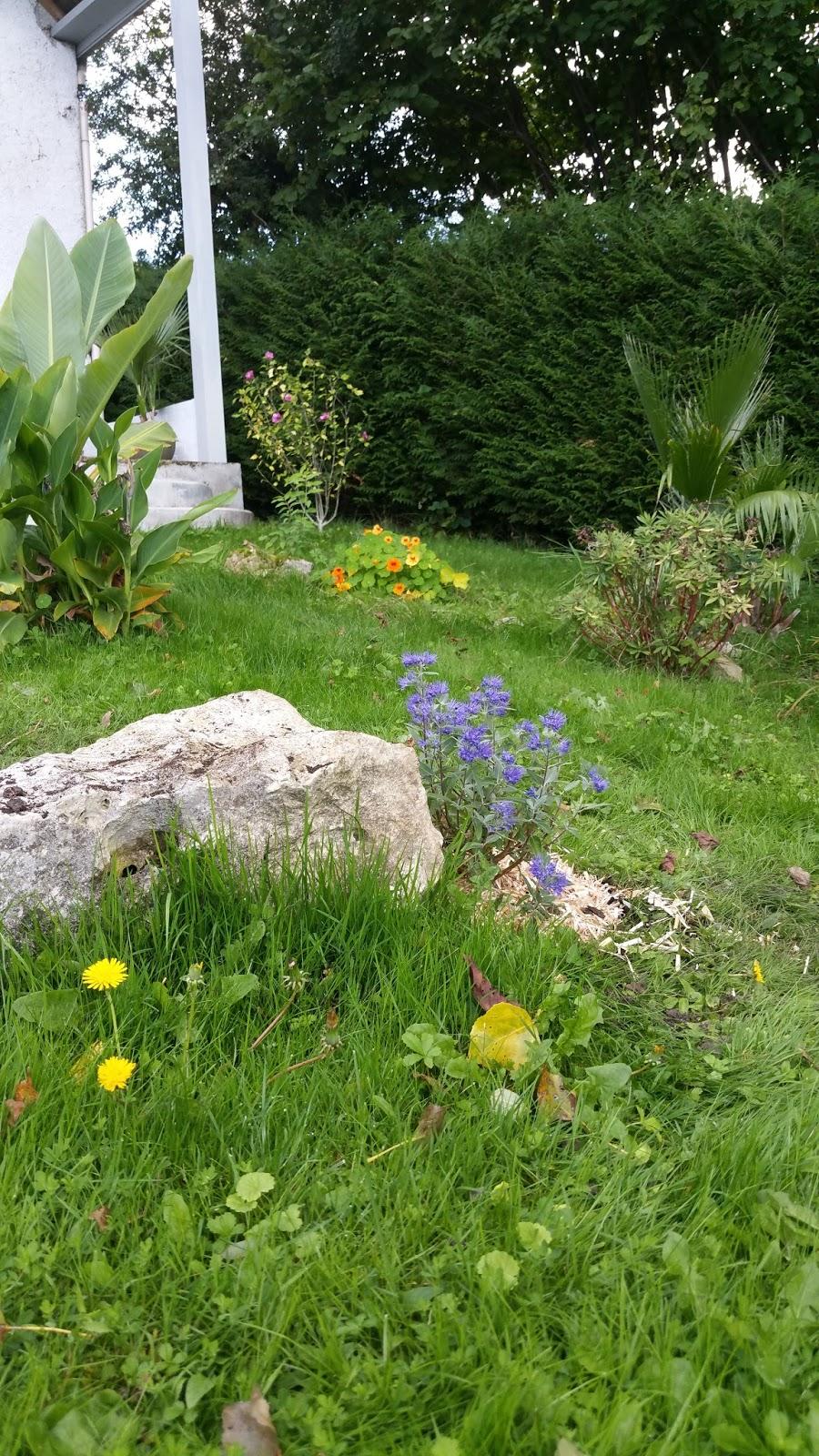 Derri re les murs de notre jardin plantation d 39 un caryopt ris for Plantation jardin
