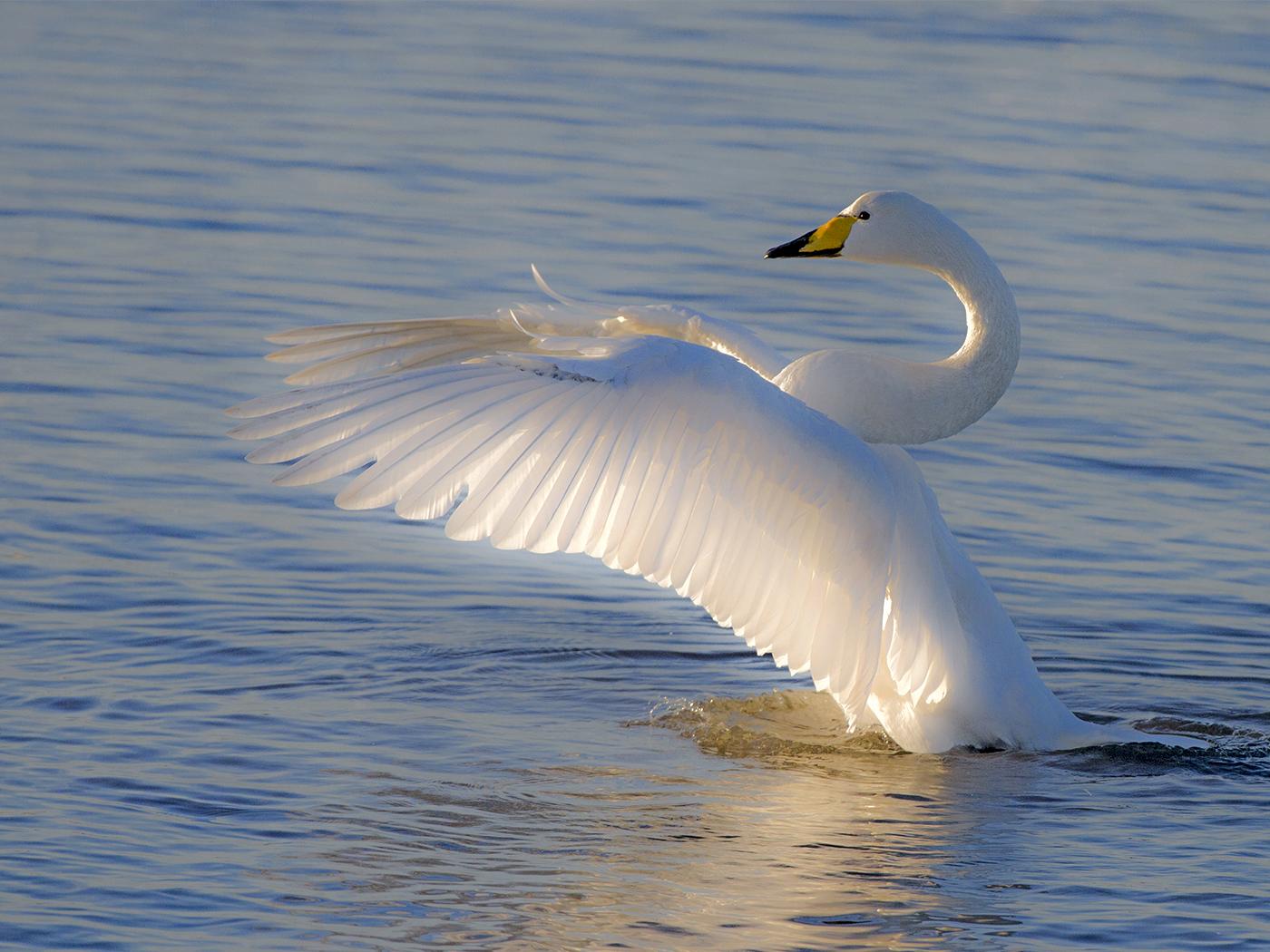 Whooper_Swan%255B1%255D.jpg
