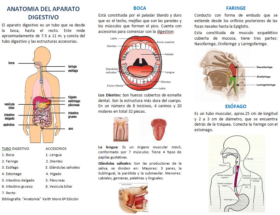 Anatomia del Aparato Digestivo   Nutri-2