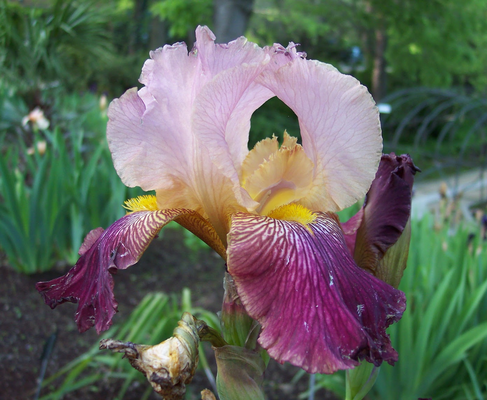Flower Homes Iris Flowers